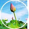 lotus-story